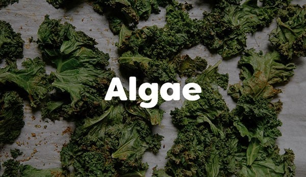 Algae can be rich in protein